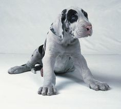 i want to squeeze him!  great dane puppy.