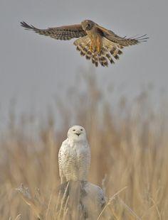 birdblog:    Snowy Owl and Northern Harrier by bugsyfan on Flickr.