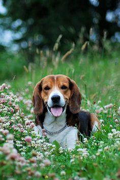 Beagle puppy By A. Timuska. i soo want a beagle!!