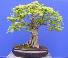 oak bonsai tree - I'm gonna try to train one like that!