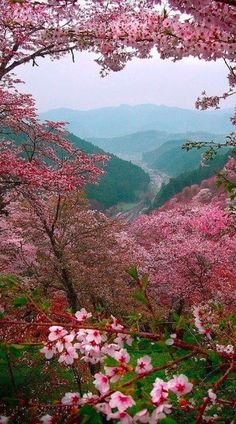 Sakura blossoms overlooking Yoshino, Japan