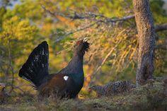 La prestigiosa revista Forest Ecology and Management publica un estudio de la UCAV sobre el hábitat del urogallo http://www.revcyl.com/web/index.php/ciencia-y-tecnologia/item/8645-la-presti