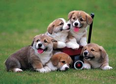 Corgi Pups in a wagon.... aaaaawwwww!!!!!!!