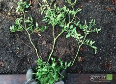 What to do when tomatoes get too tall Clipped tomato branches-PS-LR-WM