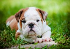 Image result for bull dog puppies