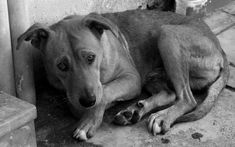 Το ψυχολογικό πείραμα για την κατάθλιψη. Έκαναν ηλεκτροσόκ σε σκύλους, για να κατανοήσουν την παθητική στάση απέναντι στην κατάθλιψη. Απέδειξε γιατί κάποιοι είναι αδρανείς και μοιρολάτρες - ΜΗΧΑΝΗ ΤΟΥ ΧΡΟΝΟΥ