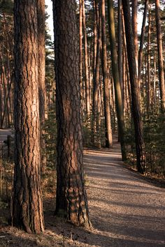 Pine trees on the Kallahdenharju esker - Toinen Linja Pine Forest, Dark Forest, Forest Bathing, Autumn Aesthetic, Pine Tree, Natural World, Nature Photos, The Great Outdoors, Mother Nature