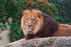 animals lions watching smart look on rock laying (to get full size image visit the site)