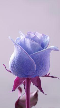 Blue rose, flower, bud, 720x1280 wallpaper