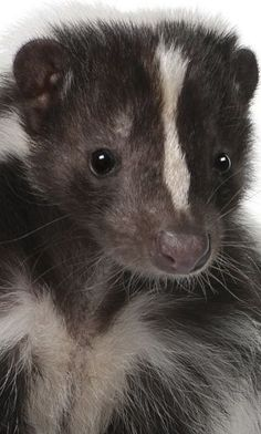 skunk facts, skunk information Skunk Smell In House, Skunk Facts, Dog Skunk, Skunk Hair, Cute Baby Animals, Animals And Pets, Wild Animals, Striped Skunk, Baby Skunks