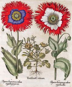 The Poppy from Besler's Hortus Eystettensis (first published in 1613. Over a thousand images were represented, most in true-life size.)