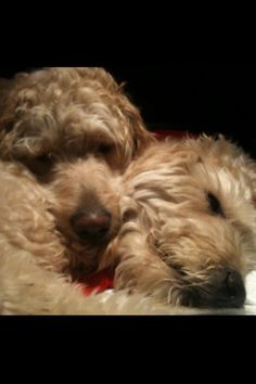 Golden Doodles Lucky and Maggie!