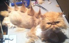 Persian Cat Haircut 26 Things Cats Are Not.hahahaah - Guys, come on. This is why your cat always looks like it's about to give up on life. I Love Cats, Cute Cats, Funny Cats, Funny Animals, Cute Animals, Crazy Cat Lady, Crazy Cats, Cat Haircut, Haircut Style