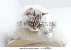 New on @shutterstock #cat #kitten #pet #animal #cute #gatos #little #feline #puppy #siberian #meow #cuddling