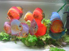 diskus fish - Pesquisa Google