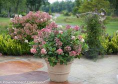 Little Quick Fire Hydrangea Hydrangea paniculata 'SMHPLQF' USPPAF Can PBRAF