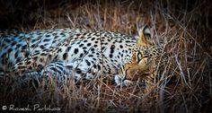 Resting Leopardess