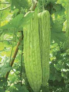 Bittergourd Sayonara seeds by Seeds of India. $2.75. Also known as bitter melon, balsam pear. Helps reduce blood sugar.. Very prolific hybrid.. Oriental type bittergourd that is less bitter than the Indian varieties. A very high yielding high quality hybrid. The plants are vigorous and early. Fruits are shiny light green with continuous attractive ribs and few bubbles. Fruits are 15 inches in length with blunt end and weighing upto 1.5 lbs.