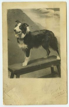 Vintage Collie (not a Border Collie) photo.