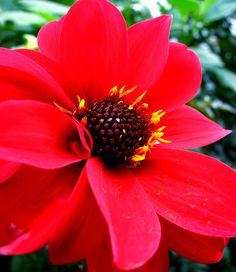 red dahlia v/Flickr. flower.