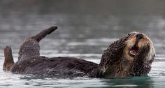 Bing Image Archive: Sea otter grooming in Prince William Sound, Alaska (© Donald M. Jones/Minden Pictures/Corbis)(Bing United Kingdom)