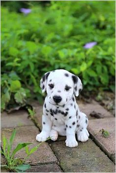 Dalmatian Puppy for Sale at Cheap Price Online in USA Canada only at – OakValleyDecor animals animal dog animaux Dalmatian Puppies For Sale, Cute Dogs And Puppies, Little Puppies, Doggies, Cute Animals Puppies, Puppies Tips, Beagle Puppies, Puppys For Sale, Adorable Puppies