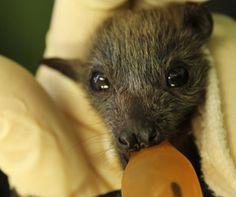 Bat Dispersal in Charters Towers - RSPCA — Bats_Rule! Help Save WildLife