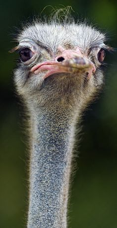 Ostrich - (CC)Emmanuel Keller (Tambako the Jaguar) - www.flickr.com/photos/tambako/8389795030/in/photostream#