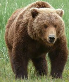 grizzly bear - Bing images