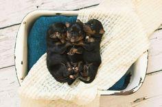 Newborn puppies, rottweiler, www.braniganphotography.com