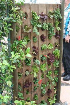 Wine rack turned lettuce/herb garden...love