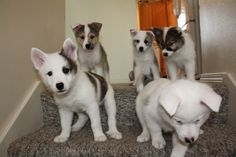 Small Puppies, Small Dogs, Sheep Dog Puppy, Icelandic Sheepdog, Small Dog Breeds, New Puppy, Cute Dogs, Cute Animals, Dogs