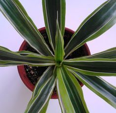 Is Dracaena Deremensis Safe For Dogs And Cats