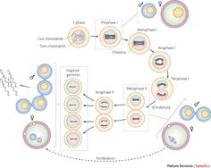 All Stages of Meiosis Diagram