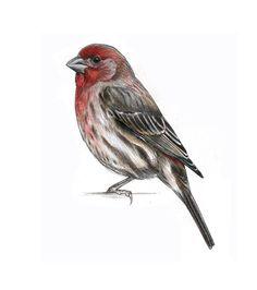 """""""House Finch"""" by Jen Brumfield. http://www.jenbrumfield.com"""