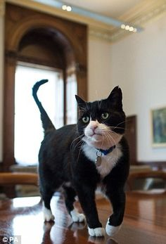 Catfight: Larry, the Downing Street cat, and Palmerston 'mouser' at the Foreign Office (pictured), are far from friends