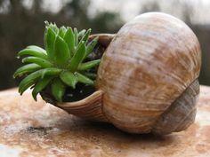 House Leeks (Sempervivum tectorum) in a snail shell House Leek, Art For Kids, Crafts For Kids, Snail Shell, Hens And Chicks, Air Plants, Garden Pots, Garden Inspiration, Planter Pots