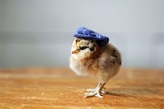 Just because: 11 pictures of chicks in hats - Animal Tracks - Too Cute
