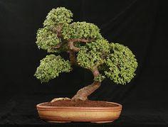 elephant jade bonsai\ at DuckDuckGo Jade Bonsai, Succulent Bonsai, Juniper Bonsai, Bonsai Plants, Planting Succulents, Bonsai Garden, Bonsai Pruning, Succulents Diy, Bonsai Tree Care