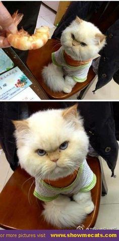I don't like prawn! - #showmecats #thegrumpy
