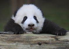 Image: A giant panda cub lies on a log at Chengdu Research Base of Giant Panda Breeding in Chengdu (© CHINA DAILY//Reuters)