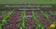 Realizar un bio-fertilizante rico en fósforo es tarea fácil con este mini manual práctico. El fósforo (p) toma un importante papel en el crecimiento y nutrición de los cultivos y plantas. Por norma general, el fósforo tiene una alta presencia en multitud de suelos agrícolas, y su asimilación por parte de las plantas dependera de las características del suelo, la cantidad de materia orgánica y los niveles de pH y EC. Ph, Mini, Paper, Organic Matter, Plant Parts, Growing Up, Flooring, Parts Of The Mass, How To Make