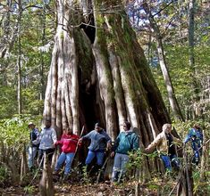 One of the Delta's best natural wonders, Sky Lake WMA is located in the small town of Belzoni. Bald Cypress Tree, Cypress Trees, Big Bay, Natchez Trace, Big Tree, Natural Wonders, Vacation Spots, Travel Usa, Mississippi