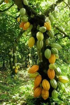 Cacau (Chocolate Tree)