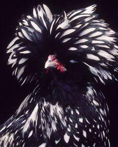 Silver Polish Chicken