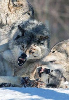 Ok..ok..break it up Böser Wolf, Wolf Howling, Wolf Love, Timber Wolf, Wolf Pictures, Wolf Spirit, Spirit Animal, Animals Beautiful, Beautiful Wolves