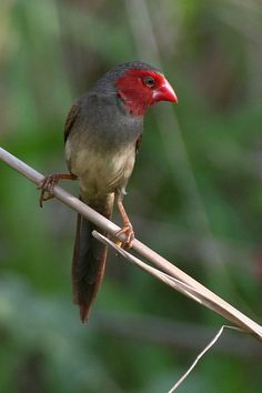 Female Crimson Finch