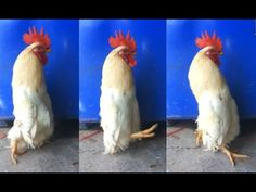 A Really Long Chicken Youtube Cooking, Chicken, Channel, Bird, Pets, Animals, Animales, Animaux, Birds