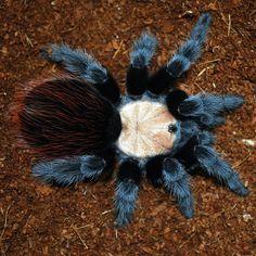 8 Best Tarantula Foot Tattoo Images Spiders Foot
