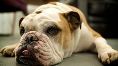 Bulldog Wallpaper HD Picture and Free Expert Advice On The Topic Of Dogs - http://www.catdogfoto.com/bulldog-wallpaper-hd-picture-and-free-expert-advice-on-the-topic-of-dogs/